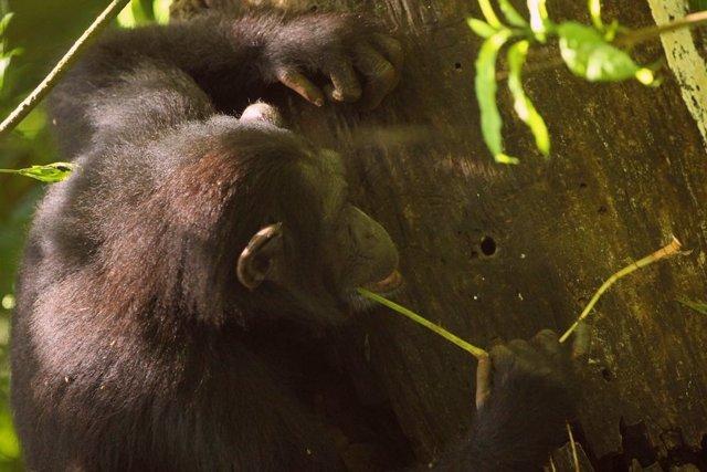 Los chimpancés usan varias herramientas, pero las herramientas de piedra afiladas no se encuentran entre ellas.