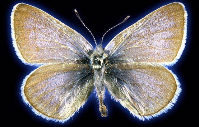 El espécimen de mariposa azul Xerces de 93 años utilizado en este estudio.