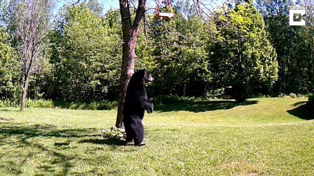 Pillan a un oso caminando sobre dos patas en el jardín trasero de una casa