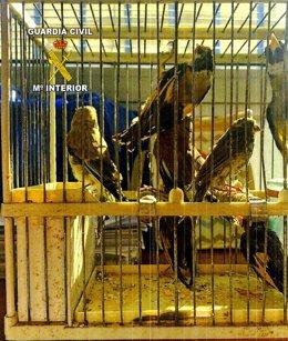 Aves fringílidas capturadas con artes prohibidas