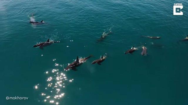 Graban el espectacular momento en que una familia de orcas se va de caza frente a la costa rusa de Kamchatka
