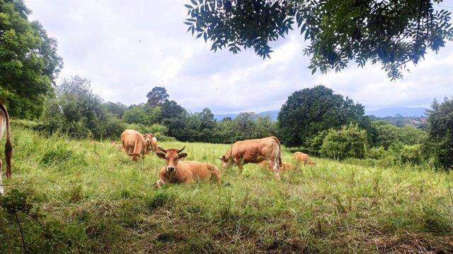 Archivo - Vacas en Villaviciosa, ganadería, PAC