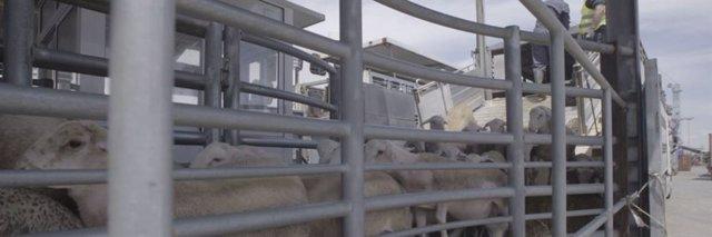Igualdad Animal exige el fin del comercio y las exportaciones fuera de la UE y más controles en su transporte en España.