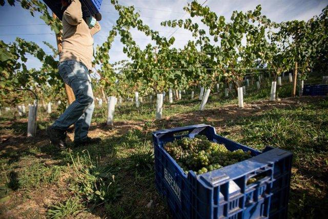 Archivo - Un trabajador de la Bodega Txabarri transporta uvas durante la vendimia para producir txakoli de Bizkaia