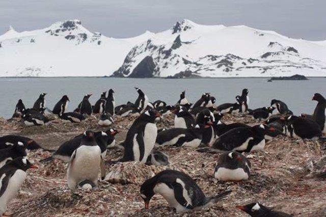 Archivo - Colonia de pingüino papúa ('Pyoscelis papua') en la península de Byers, una de las localidades incluidas en el estudio