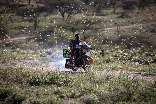Archivo - Enjambre de langostas en el noreste de Kenia