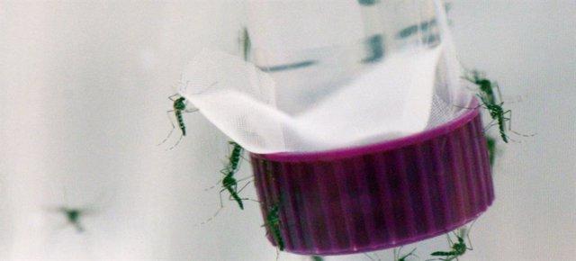 Archivo - El mosquito Aedes aegypti, transmisor de los virus del Zika, el dengue y la chikungunya.