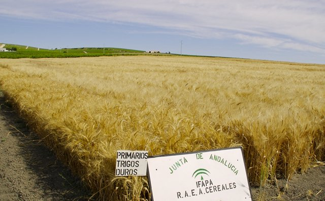 Archivo - Campo de trigo andaluz