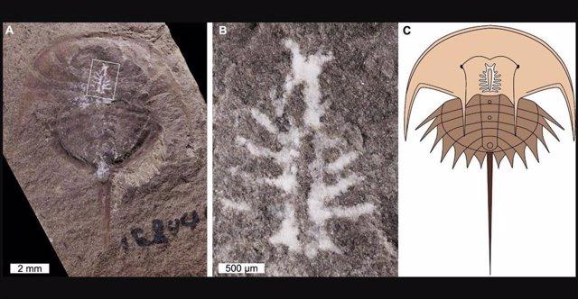 (A) Espécimen Fósil Del Cangrejo Herradura Euproops Danae, Conservado Con El Cerebro Intacto. (B) Primer Plano Del Cerebro, Como Lo Indica El Recuadro De La Imagen (A). (C) Reconstrucción De Euproops Danae, Incluida La Po
