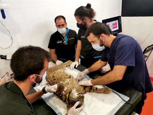 Los veterinarios examinan al lince 'Damero'.
