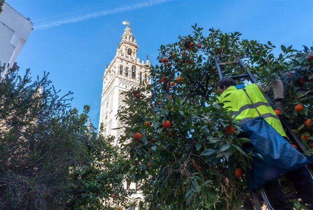 Archivo - Foto de archivo de árboles de Sevilla.