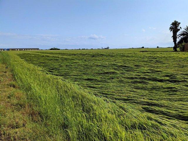 Unió de Pagesos cifra los daños de la tormenta del fin de semana entre el 30% y el 60%  y destaca las afectaciones en el cultivo de arroz.