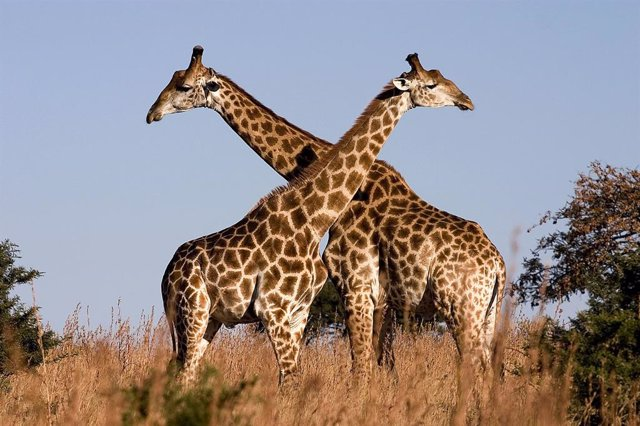 Los machos de jirafa se dedican al duelo de cuellos para establecer el dominio.