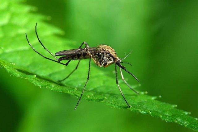 Archivo - Mosquito Aedes albopictus, más conocido como mosquito tigre