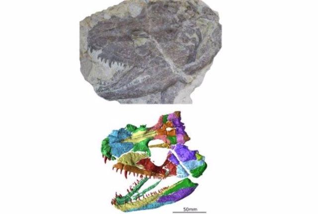 Fósil y reconstrucción del cráneo fósil del antiguo anfibio