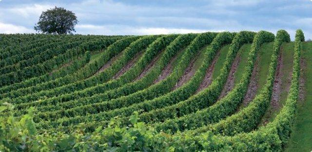 Archivo - Campo, agricultura, olivos, vino