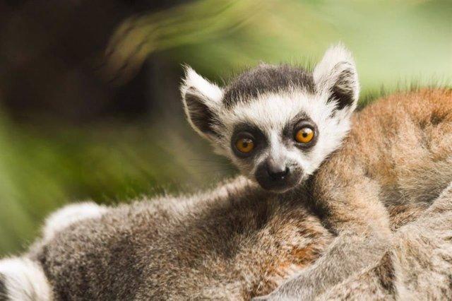 Loro Parque da la bienvenida a una nueva cría de lémur