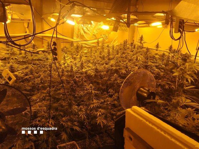 Plantació de marihuana en una casa de Massanes (Girona)
