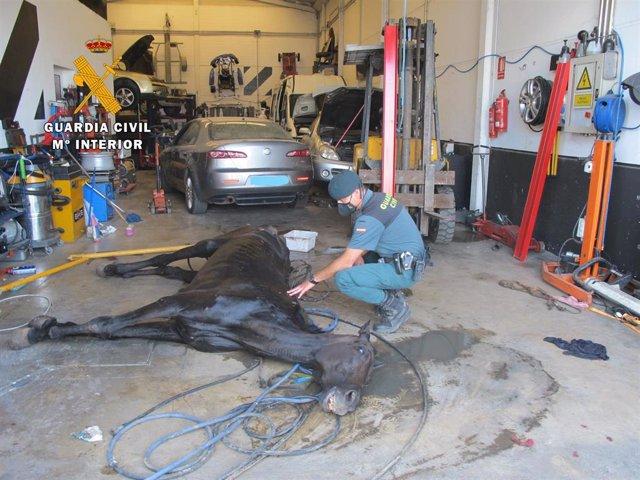 La Guardia Civil encuentra un caballo en malas condiciones higiénico-sanitarias en un taller clandestino.