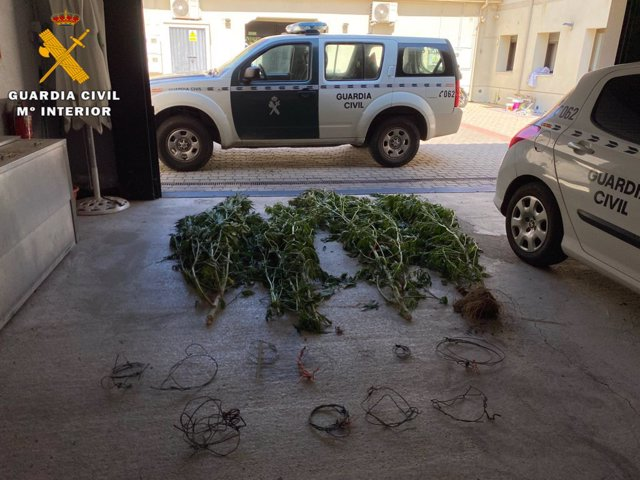 Archivo - Plantas de cannabis y lazos ilegales incautados.
