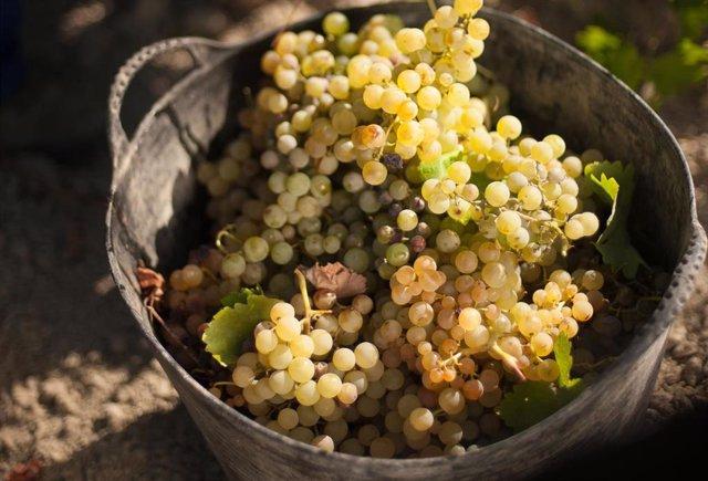 Uva de los viñedos de las Bodegas Barbadillo