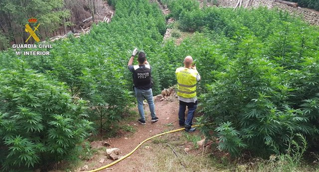 La plantación de 2.123 plantas de marihuana desmantelada este miércoles en una zona rural del municipio de Vandellos-Hospitalet (Tarragona).