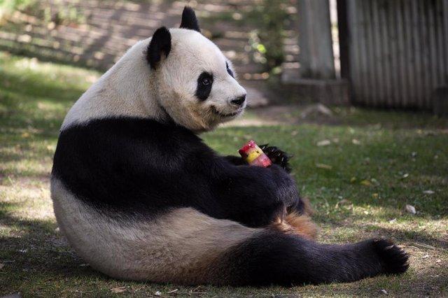 El oso panda Bing Xing con un helado en el Zoo Aquarium de Madrid