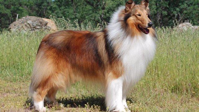 """El collie representa """"amarillo sombreado"""", uno de los cinco patrones de color del pelaje en perros domésticos identificados"""