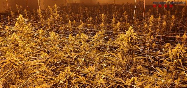 Plantació de marihuana en una nau industrial de Sant Sadurní d'Anoia (Barcelona).