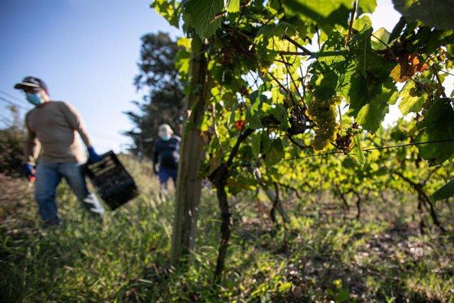 Archivo - Trabajadores de la Bodega Txabarri recogen uvas durante la vendimia para producir txakoli de Bizkaia.