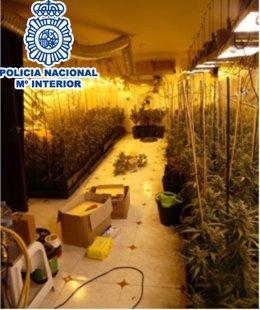 Desmantellen cinc plantacions de marihuana en el Baix Llobregat (Barcelona)
