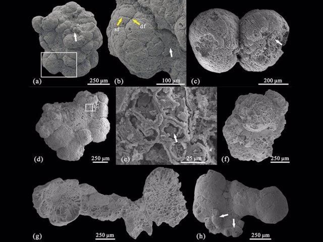 Aspecto de los fósiles de algas multicelulares datdas en el Cámbrico