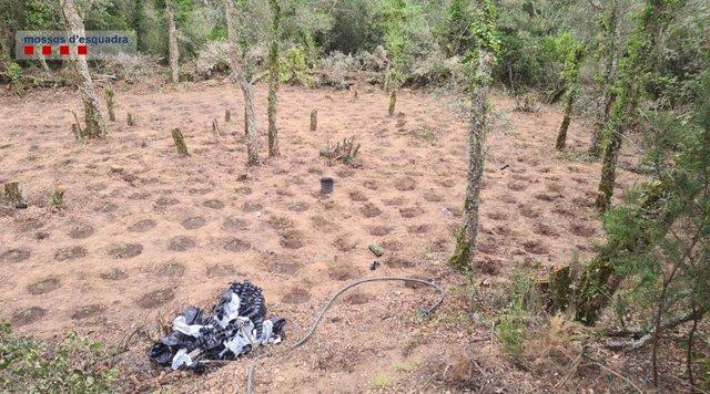 Imatge de la plantació amb 2.093 plantes de marihuana a Santa Cristina d'Aro (Girona)