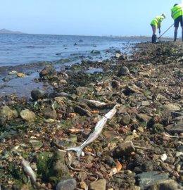 Archivo - Retirada de peces muertos en Los Nietos