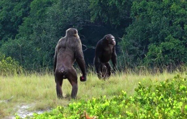 Dos machos adultos de la comunidad Rekambo del Proyecto Chimpancé Loango en Gabón revisando el área.