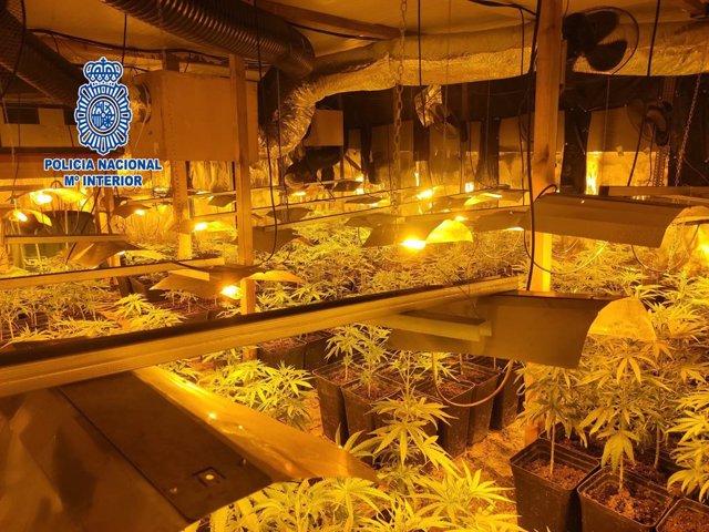 Desmantellen un cultiu interior amb 1.597 plantes de marihuana a Palamós (Girona)