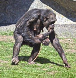 Archivo - Nace una cría de chimpancé a la vista del público en Bioparc Valencia