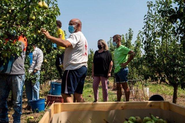 La consejera de Agricultura, Eva Hita, ha subrayado la importancia de una estrategia integral y el esfuerzo conjunto de sector y administraciones para lograr unas campañas agrarias seguras al visitar la recogida de la pera de Rincón de Soto