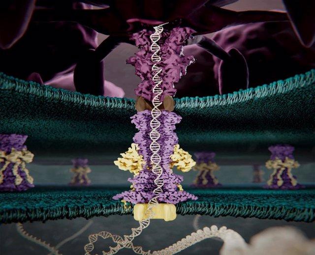Archivo - Imagen artística de la estructura proteica que utiliza el fago T7 para romper la pared bacteriana, resuelta por microscopía electrónica