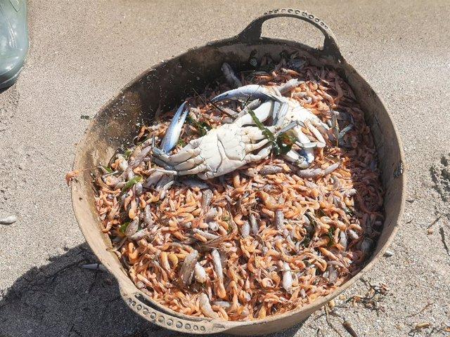 Archivo - Miles de peces muertos y recogidos en el Mar Menor