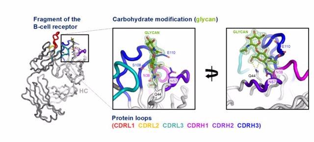 La imagen representa la estructura cristalina de un fragmento de un receptor de células B de un linfoma agresivo. El receptor está modificado por un carbohidrato, denominado glicano, que se muestra en forma de bastones verdes.