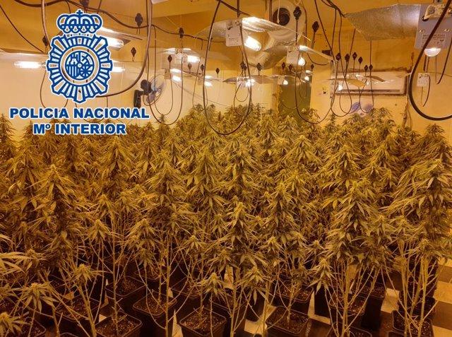 Operación Agosto contra el cultivo de marihuana