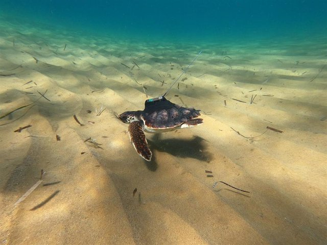 Una de las tortugas marcadas por ANSE, seguramente Argonauta, el día de su liberación en Calblanque el 05 de octubre de 2020