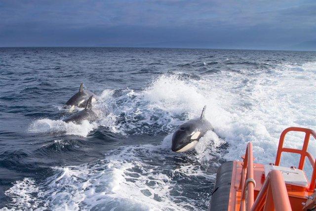Archivo - Orcas