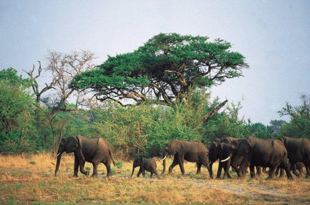 Archivo - Elefantes en Botsuana