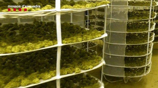 Imatge de la marihuana desmantellada a Sant Andreu de Llavaneres (Barcelona)