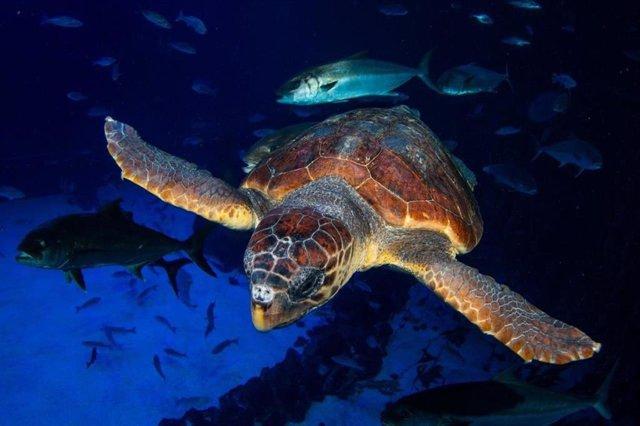 Una tortuga encontrada en estado crítico se recupera en Poema del Mar