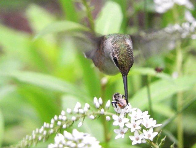 Colibrí y abeja compartiendo flores.