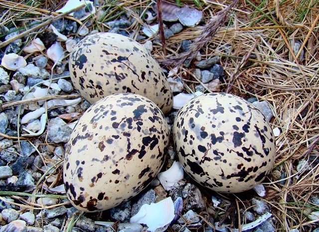 Huevos de ostrero euroasiático