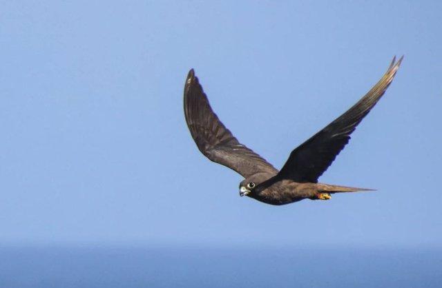 Un halcón de Eleonora de morfo oscuro sobrevolando el islote canario de Alegranza en el Océano Atlántico.